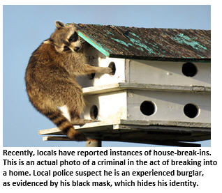 Small town crime - Raccoon